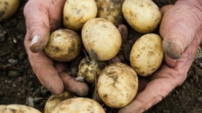 România produce 5% din cantitatea totală de cartofi a Uniunii Europene