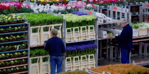Bursa din Aalsmeer, aproape de colaps. Exporturile olandeze de flori s-au redus cu 35%