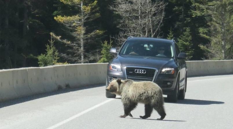 Atenție turiști: 29 de urși îndepărtați de jandarmii de pe Valea Prahovei în doar două zile